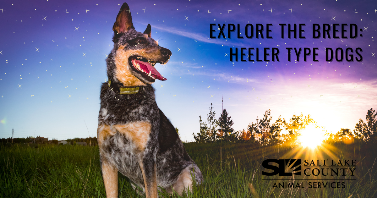 Explore the Breed: Heeler Type Dogs