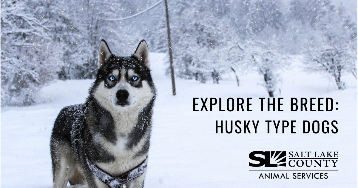Explore the Breed: Husky Type Dogs
